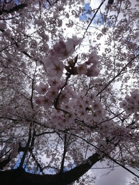 楯山公園桜まつり!