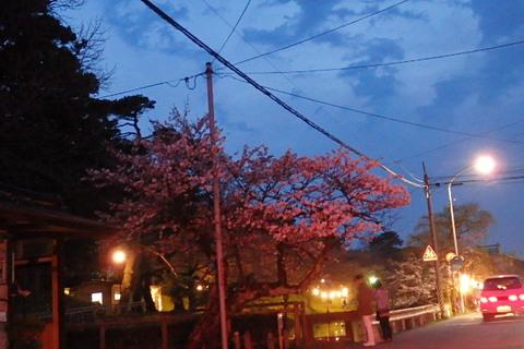 鶴岡公園桜灰猫