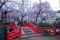 枝垂れ桜山王日枝神社