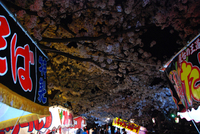 夜桜アンジュ鶴岡公園