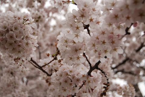 桜猫鶴岡大山公園