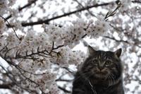 桜 アンジュ