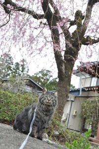アンジュ枝垂れ桜