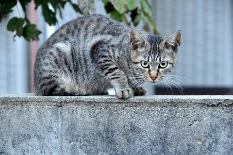 日替猫定食雉トラ