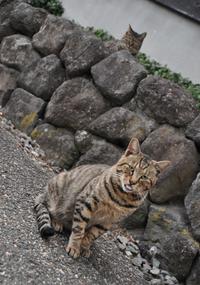 酒田キジトラ猫物語