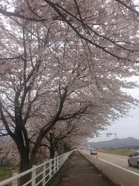 桜☆in新潟っ♪