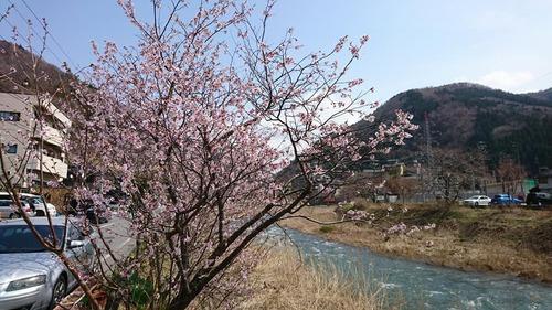 温泉街の桜開花予想
