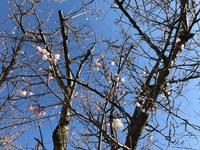 温海川河畔の桜 4月3日開花!!