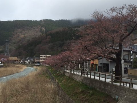 今朝の温海川河畔の桜