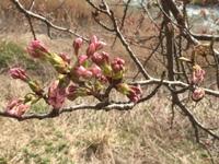 本日の桜!