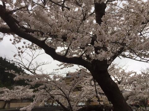 4/18あつみ温泉の桜tags[山形県]