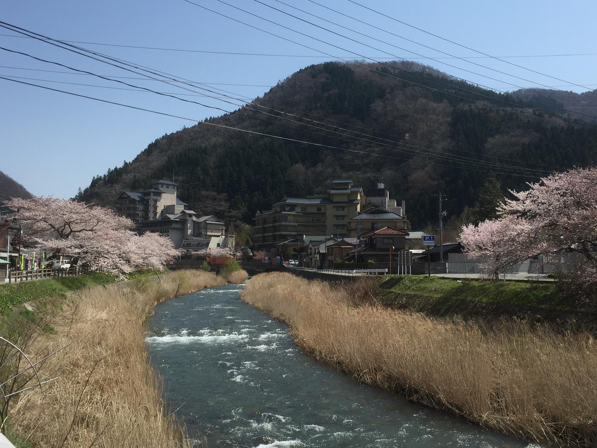 4/12温海川河畔桜 開花状況!