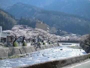 あつみ温泉 温海川河畔の桜