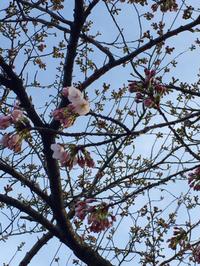 桜咲いたよ〜〜