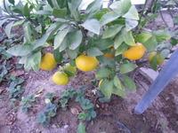 酒田でミカン収穫、デコポン、庄内でも柑橘類収穫