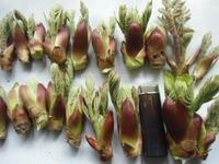 タラの芽採り、庄内山菜、たらの芽