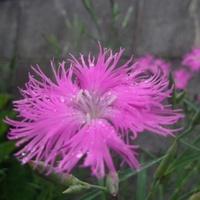★なでしこの花が咲きました〜♪★ 2012/06/23 08:53:53