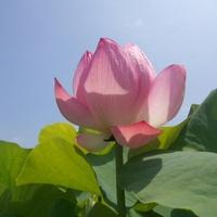 ★蓮   めぐり〜(o^・^o)    【1】★ 2012/07/29 19:58:04