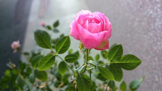 展示場のバラ