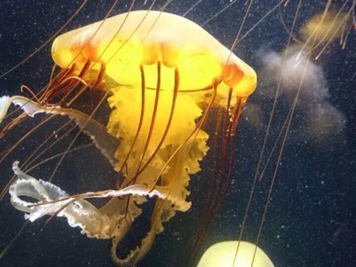 鶴岡市立加茂水族館のクラゲ