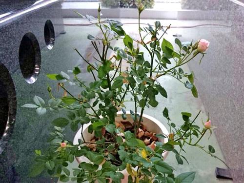エコー石材ショールームのバラ