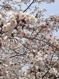 初お花見(*^▽^*)