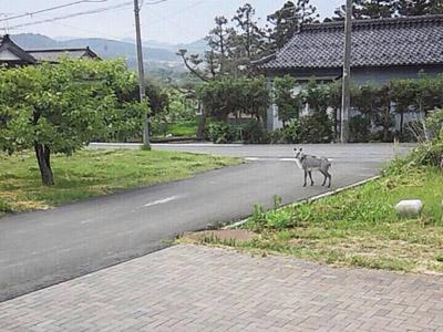 遊佐町野生カモシカ