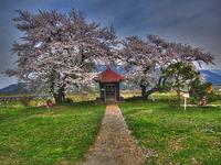 ◇第19話◇関根の桜
