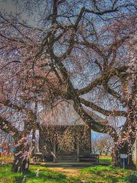 ◇第17話◇阿弥陀地の桜