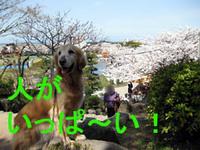 桜のお花見?釣りキチ三平が!