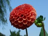 ダリヤ園の切花収穫