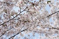 桜日和・霞城公園
