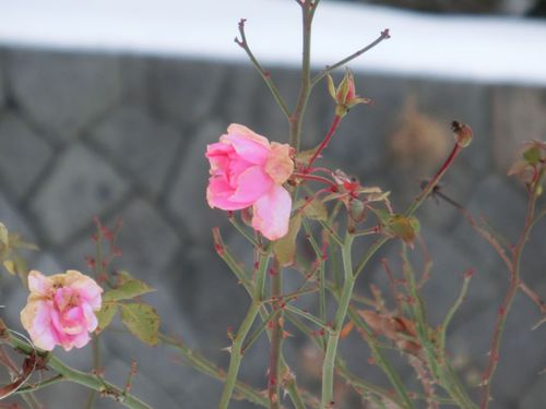 厳冬の薔薇♪