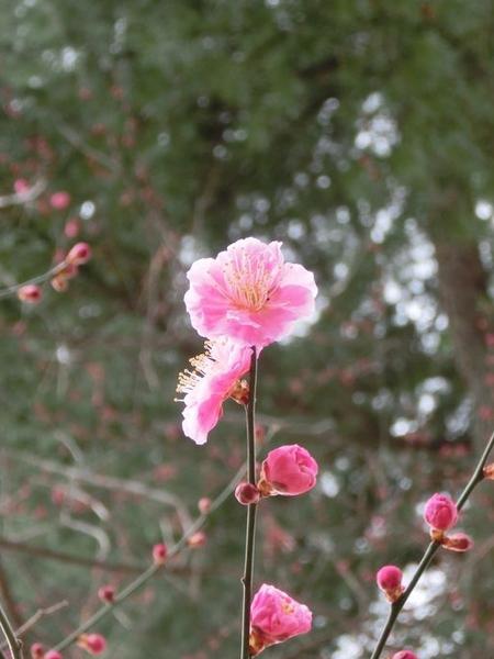 山王森に梅の咲く♪ ~ 日枝神社 梅だより'14~