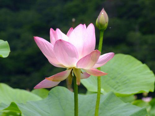 大山上池蓮花咲く♪