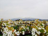 刈屋の梨の花盛り