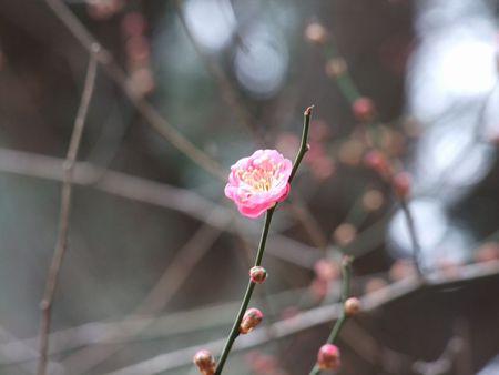 昨日の梅♪~ 日枝神社 梅だより'15~