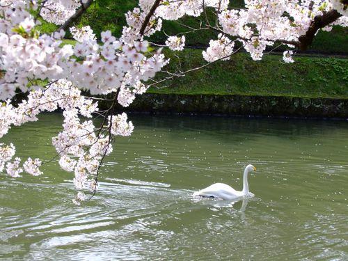 満開の鶴岡公園♪