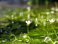 梅花藻は咲き始め♪