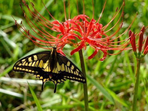 曼珠沙華とアゲハ蝶♪