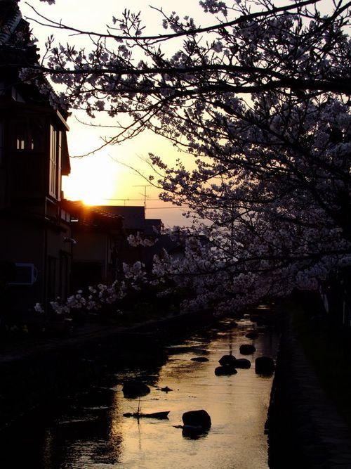 八面川夕桜♪♪