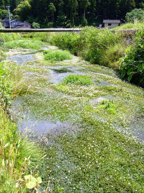 落伏地区の梅花藻!