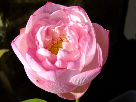 蓮、咲きました♪