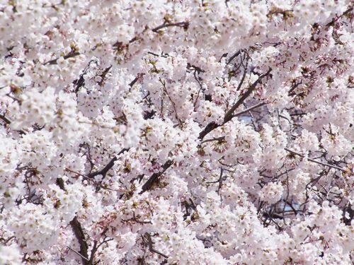桜花爛漫中山堤♪