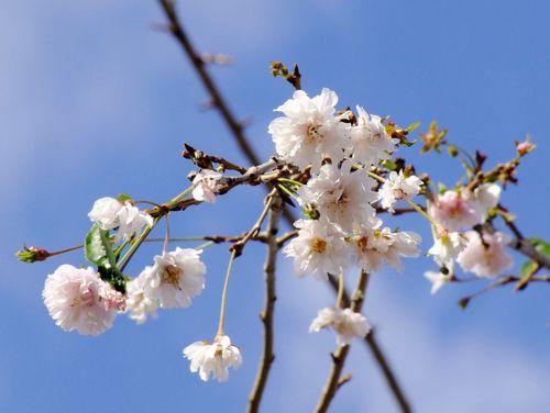 10月の枝垂れ桜♪