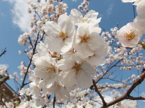 八面川朝桜♪