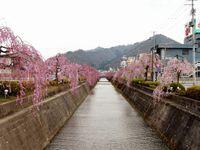 天童の枝垂れ桜