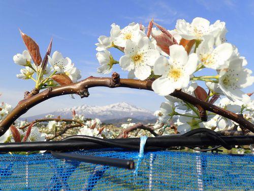 刈屋梨、咲きました♪