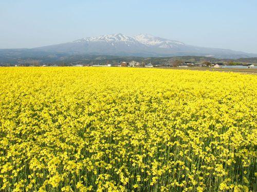 菜の花畑と鳥海山♪