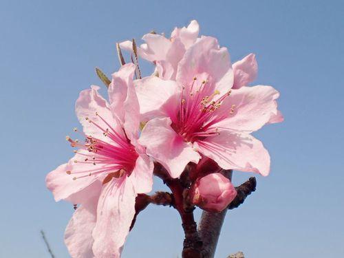 梨の花のアーチ♪